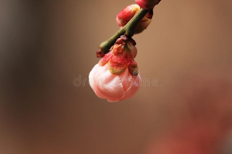 The plum blossom in early puberty stock photos