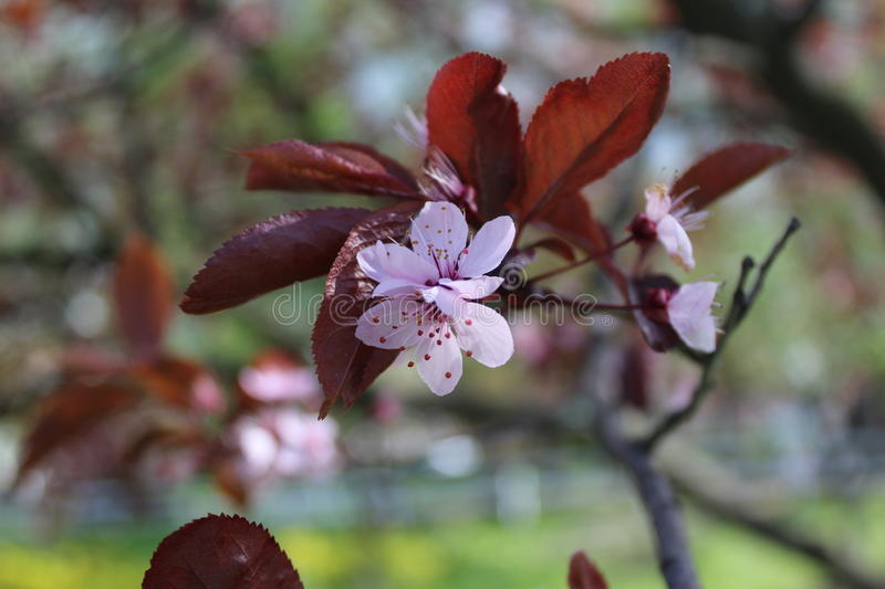 On the plum the pink flowers blossomed in the spring. stock images