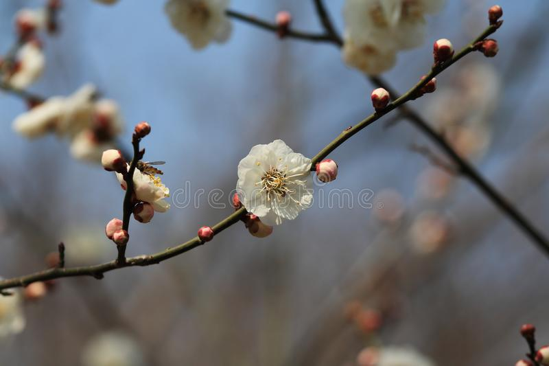 Plum. The plum blossom is China ten flowers of the first, Chinese in traditional culture, with its strong, Gao Jie Mei, humble character, in order to give people stock photos