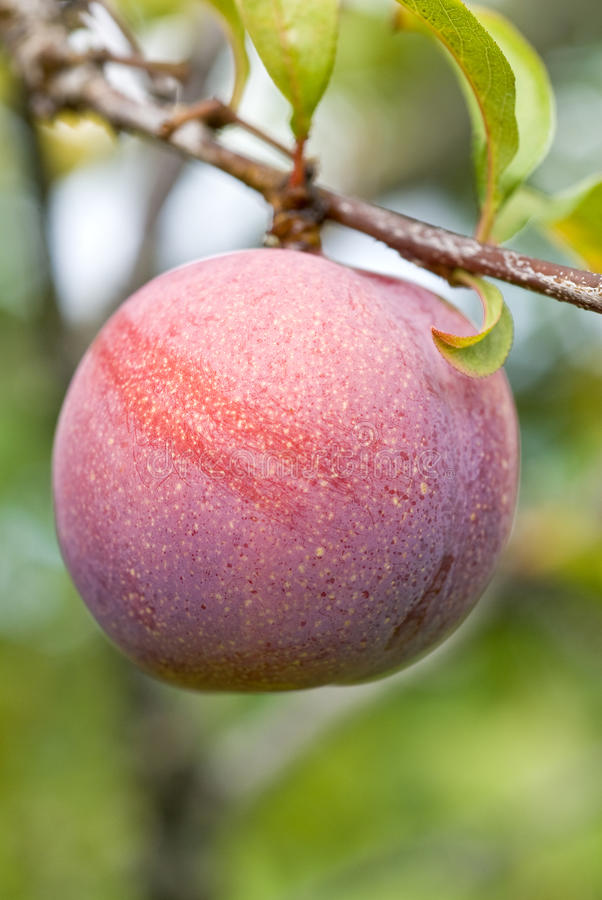 Download Plum Ripening on the Tree stock image. Image of spots - 10631113