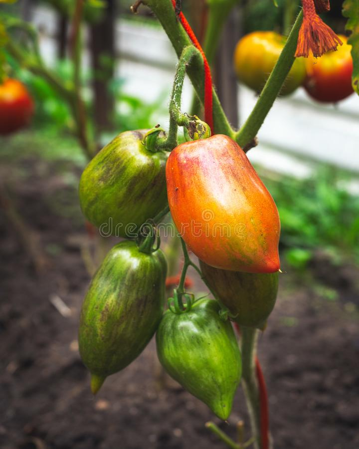 Plum-shaped green and red tomatoes hang on the bushes in the village garden. A bright summer day royalty free stock image