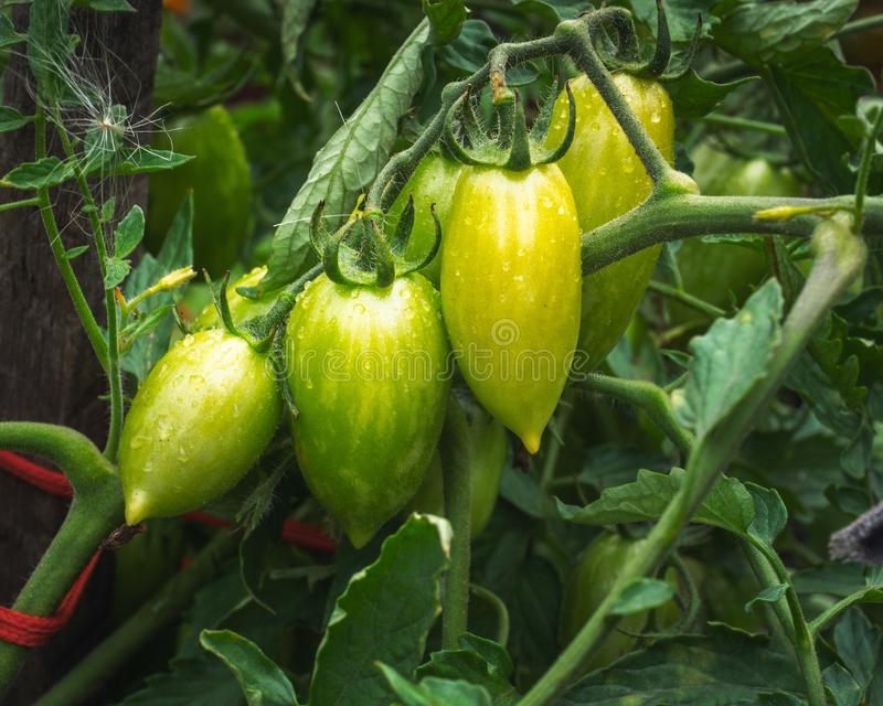 Plum-shaped green tomatoes hanging on the bushes in the village garden. Plum-shaped green tomatoes hang on the bushes in the village garden, a bright summer day royalty free stock photos
