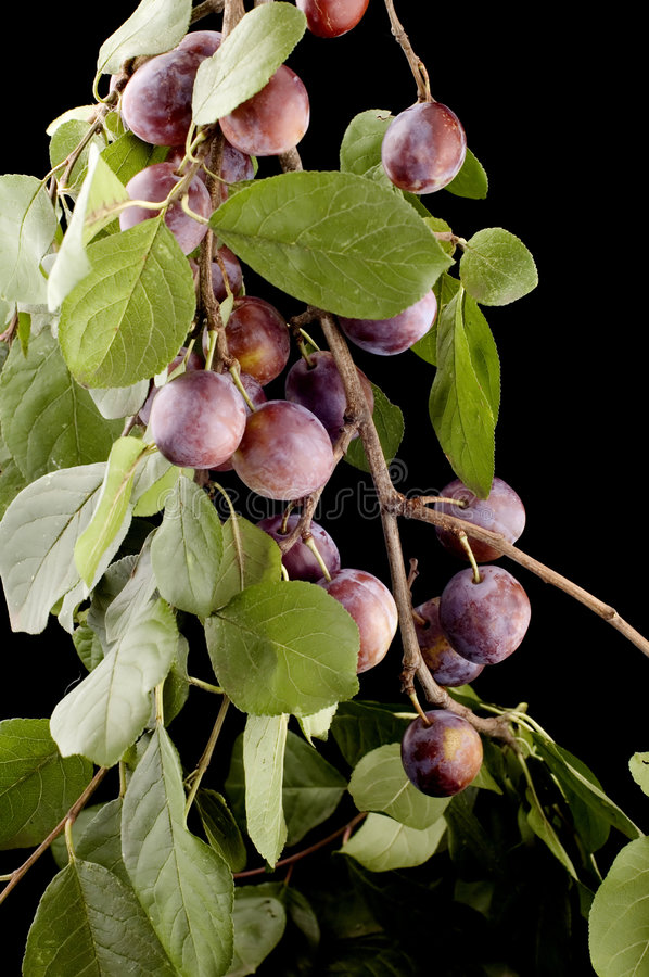 Download Plum tree stock photo. Image of nutrition, purple, cooking - 6246044