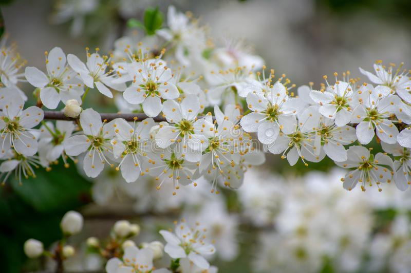 Plum tree in bloom royalty free stock image