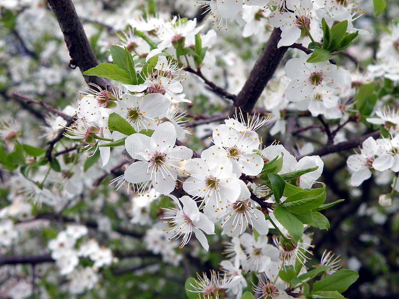 Plum tree with blooms