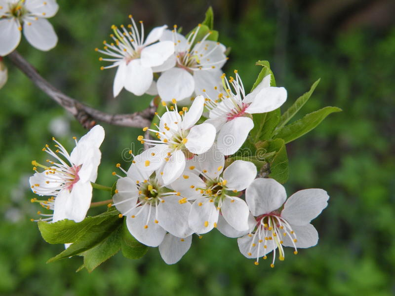 Plum tree blooms royalty free stock photography