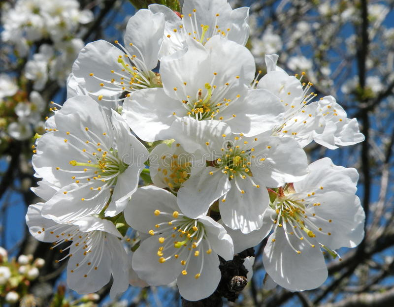 Plum tree blooms royalty free stock photo