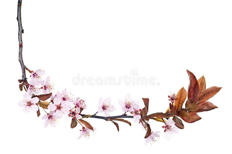 Plum tree blossom royalty free stock image