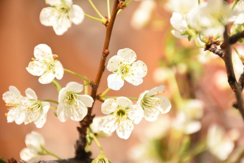 Plum Tree Blossoms. Against Soft Orange Background stock photos