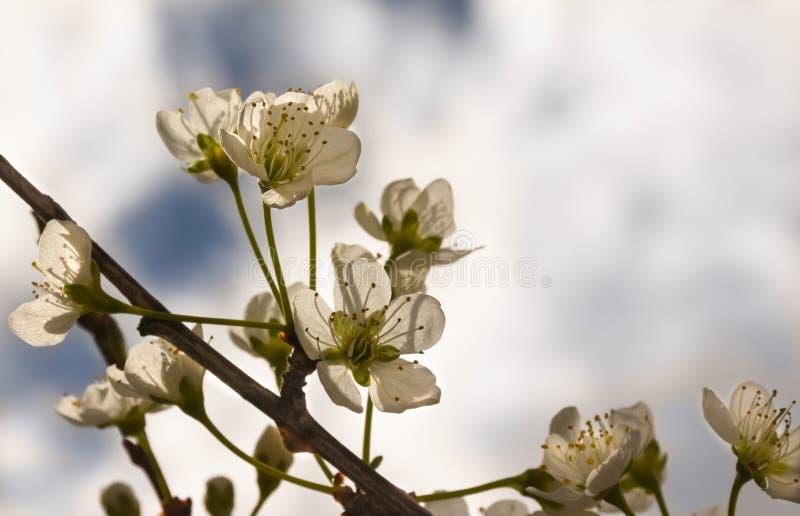 Plum Tree Blossoms. Blue Cloudy Sky Background stock photos