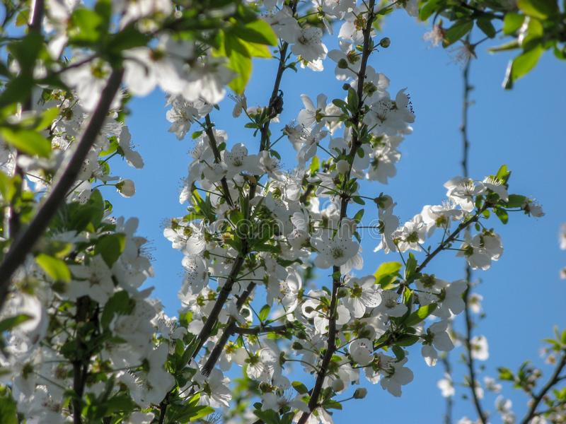 Plum tree blossoms with blue sky background royalty free stock images