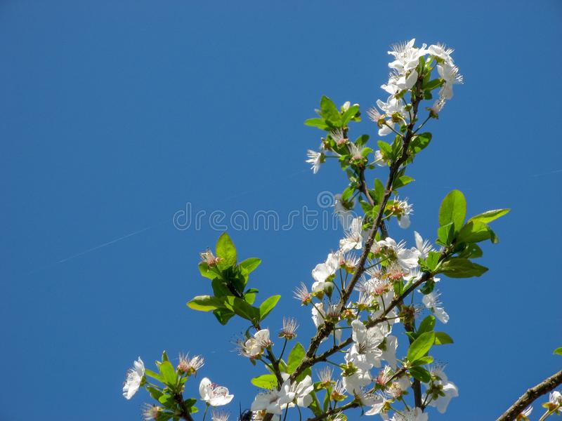 Plum tree blossoms with blue sky background stock photo