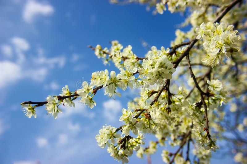 Plum tree branch filled with white flowers and beautiful blue sky background stock photos