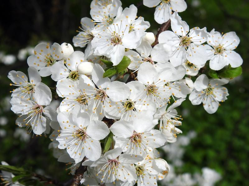 Beautiful white plum trees branch with flowers, Lithuania stock photography