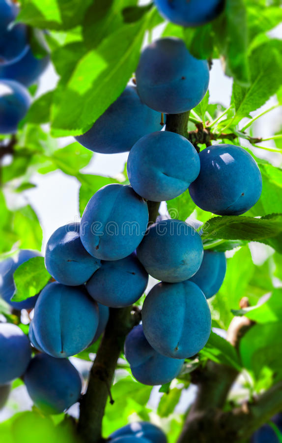 Plum tree branch royalty free stock photography