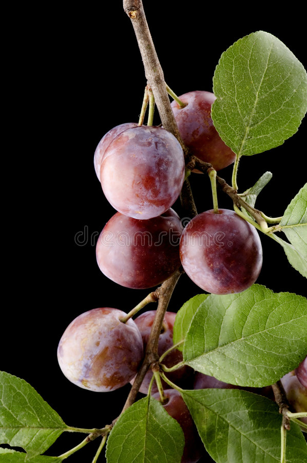 Download Plum-tree close up stock photo. Image of vitamins, market - 6246048