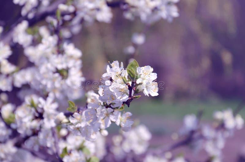 Plum Tree di fioritura fotografie stock libere da diritti