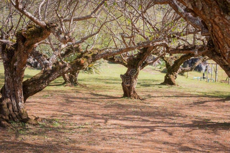 Plum Tree en hiver image stock