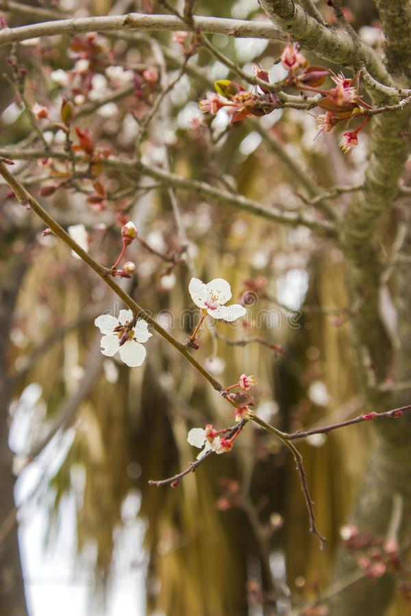 Detailed macto photo of Plum tree flower stock images