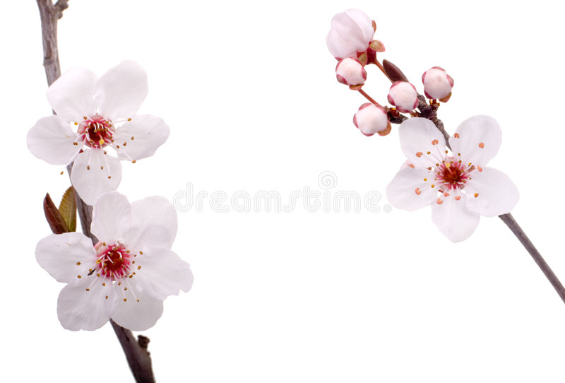 Plum tree flowers stock photos