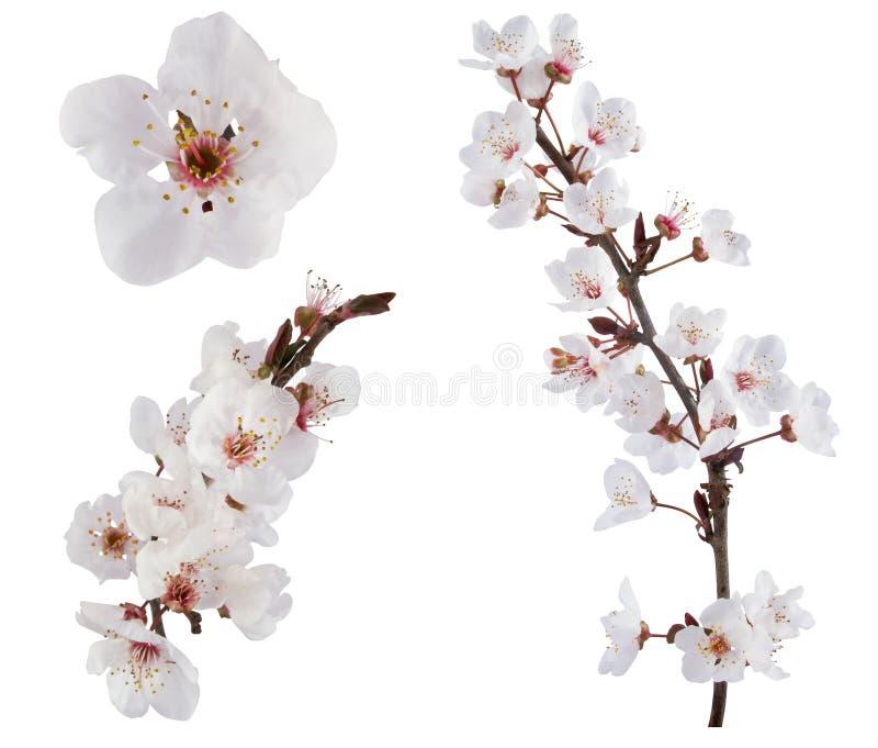 Plum-tree flowers. royalty free stock photo