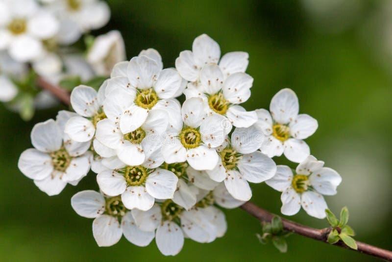 Plum Tree Flowers stock photos
