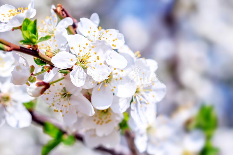 Plum tree flowers royalty free stock photography