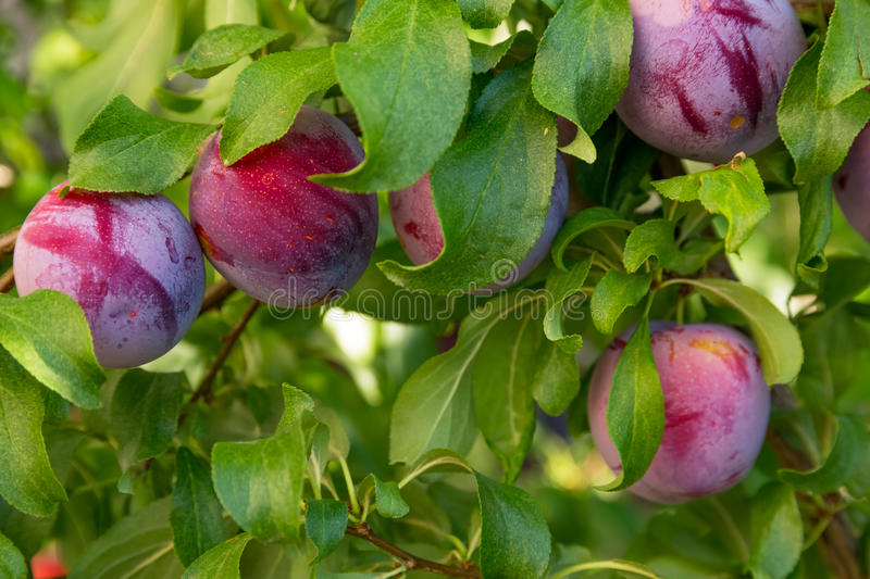 Plum tree royalty free stock photography