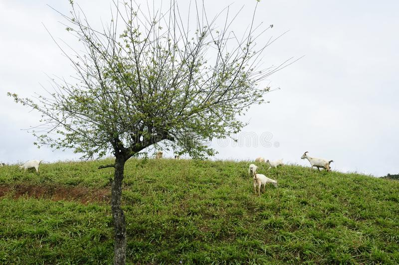 Plum tree and goat flock royalty free stock images