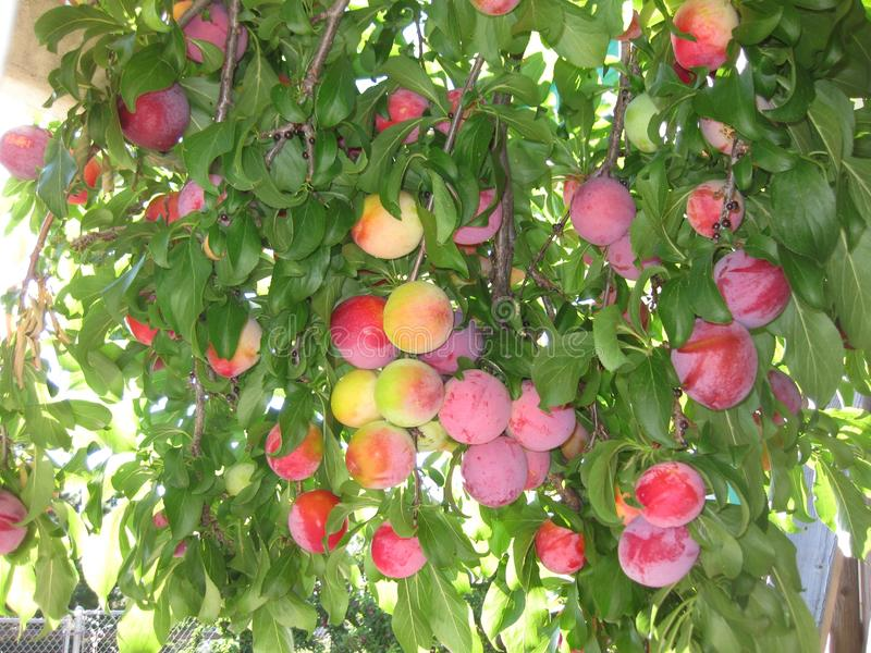 Plum Tree Santa Rosa Loaded With Fruits stock photography