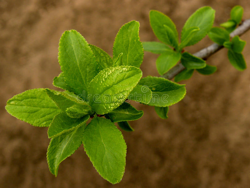 Plum tree twig. With fresh new leaves closeup stock images