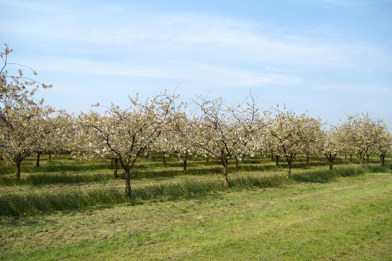 Plum trees in bloom. fruits rows of plums trees, grow on the rural field. Blooming prune tree plantation in spring. Spring orchard. Spring orchard during stock photos