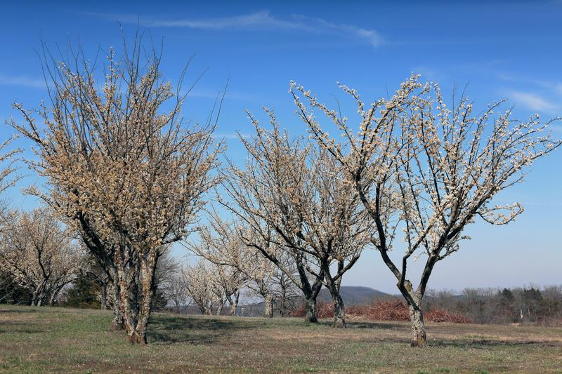 Plum trees in bloom. At Persimmon Hill Farm in Lampe, Missouri. It is a sunny day with a blue sky and high white clouds royalty free stock image