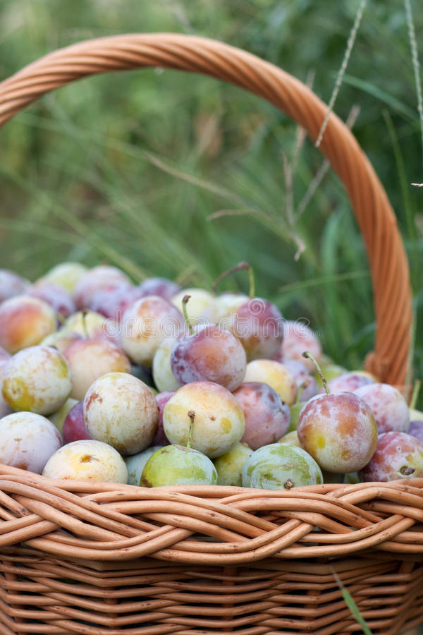 Plum in a wicker basket in the garden. Shallow depth of field stock images
