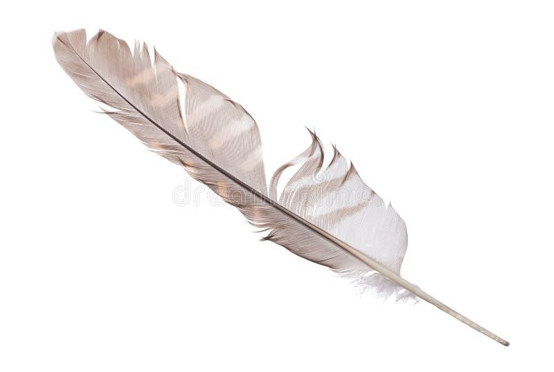 Pluma abigarrada del halcón aislada en blanco fotografía de archivo libre de regalías