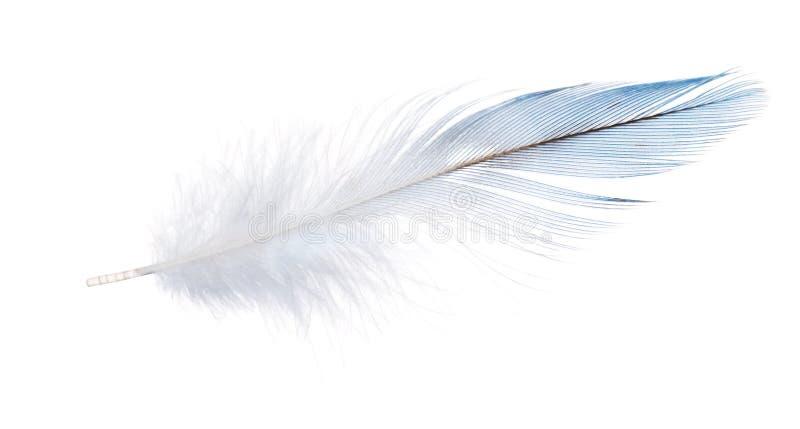 Pluma azul clara del loro aislada en blanco imágenes de archivo libres de regalías