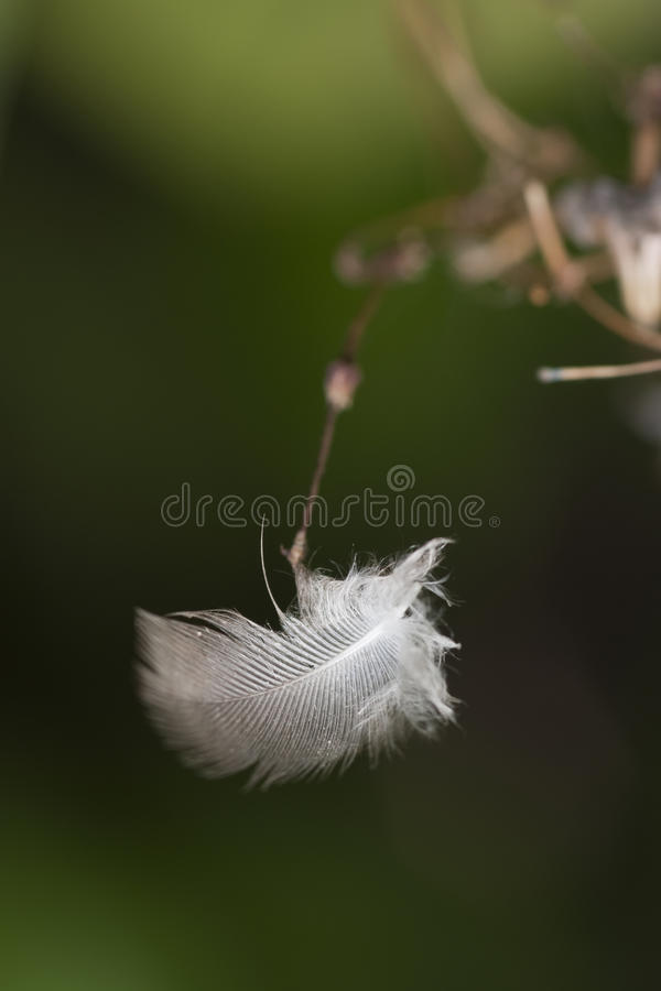 Pluma blanca imagenes de archivo