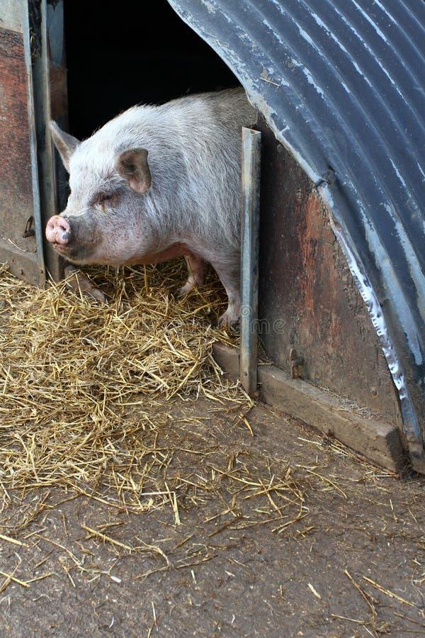 Pluma de cerdo fotos de archivo libres de regalías