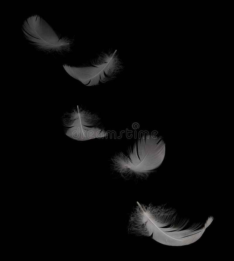 Pluma del cisne foto de archivo libre de regalías