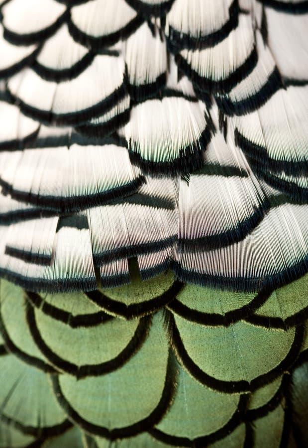 Pluma del faisán foto de archivo