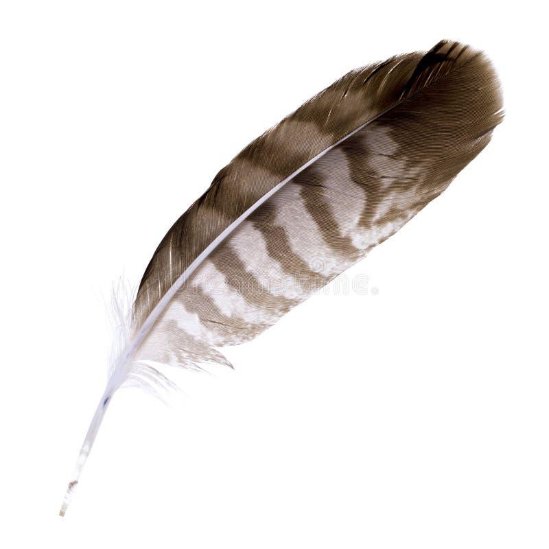 Pluma del halcón imagenes de archivo