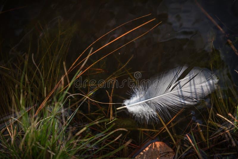 Pluma del pato foto de archivo