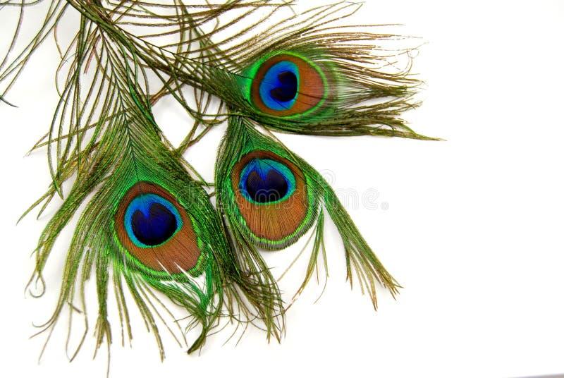 Pluma del pavo real imagen de archivo libre de regalías