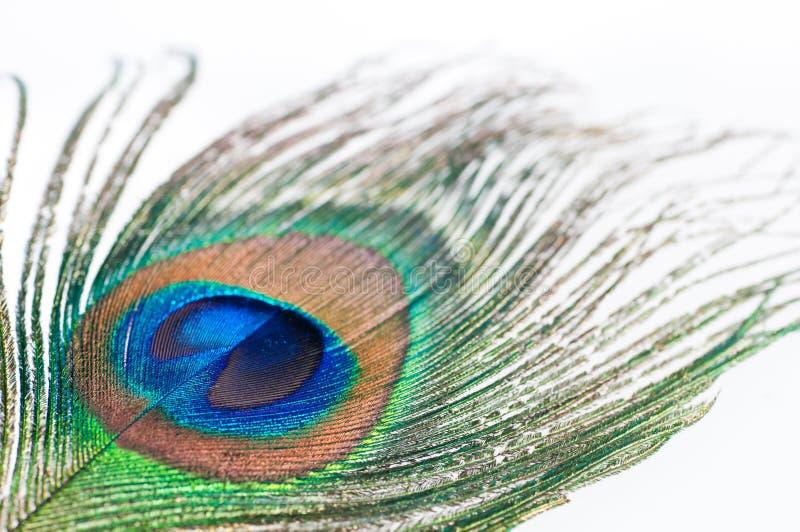 Pluma del pavo real en blanco imágenes de archivo libres de regalías