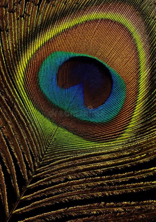 Pluma del pavo real en el primer negro de la macro del fondo imagenes de archivo