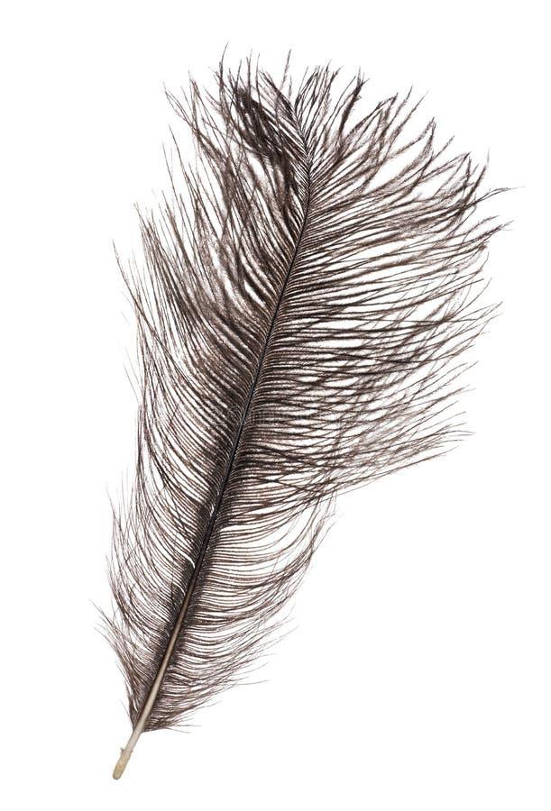 Pluma gris oscuro de la avestruz aislada en blanco imagenes de archivo