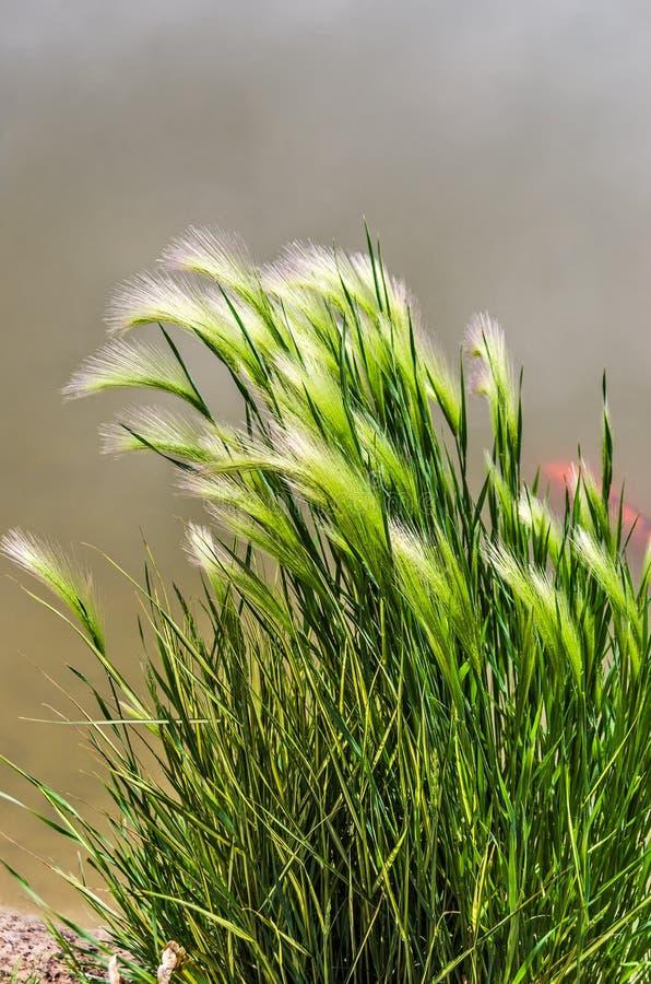 Pluma Reed Grass de Eldorado imagenes de archivo