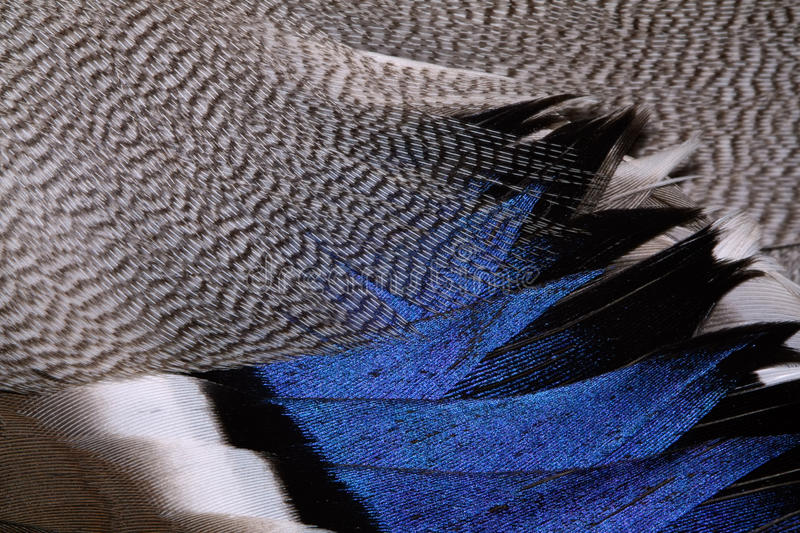 Plumage of a duck. The fragment plumage of a duck royalty free stock photography