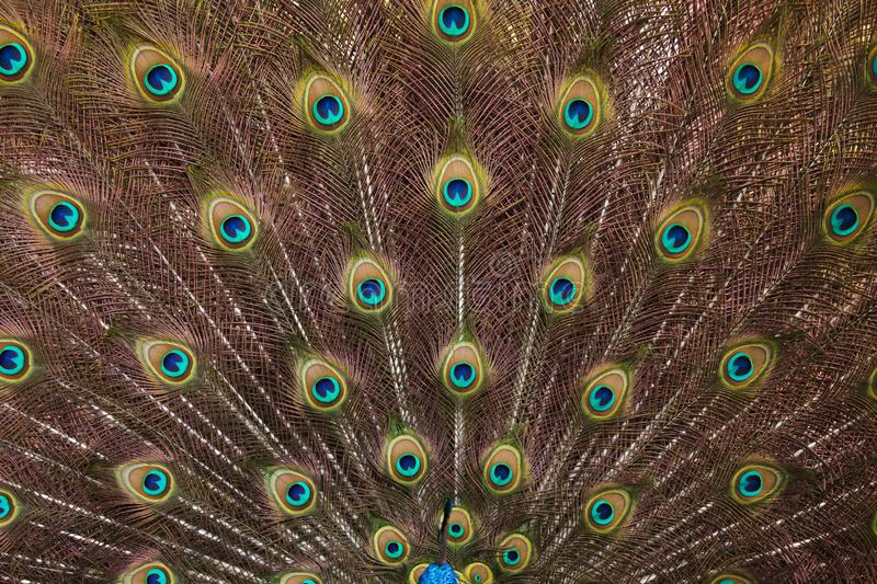 Plumage of the Indian peafowl Pavo cristatus royalty free stock image