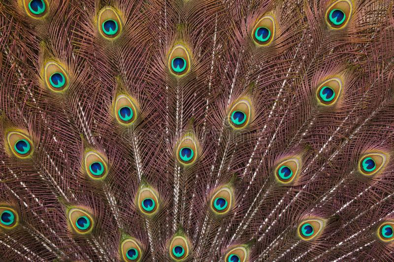Plumage of the Indian peafowl Pavo cristatus. Also known as the blue peafowl royalty free stock images